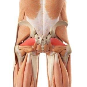 mușchi în formă de pară - localizare